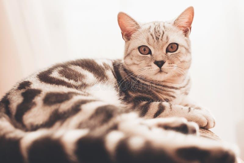 Cat lying near curtains stock photos
