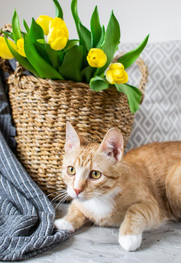 Cat Lying su Gray Plaid Indoor, Cosiness fotografie stock libere da diritti