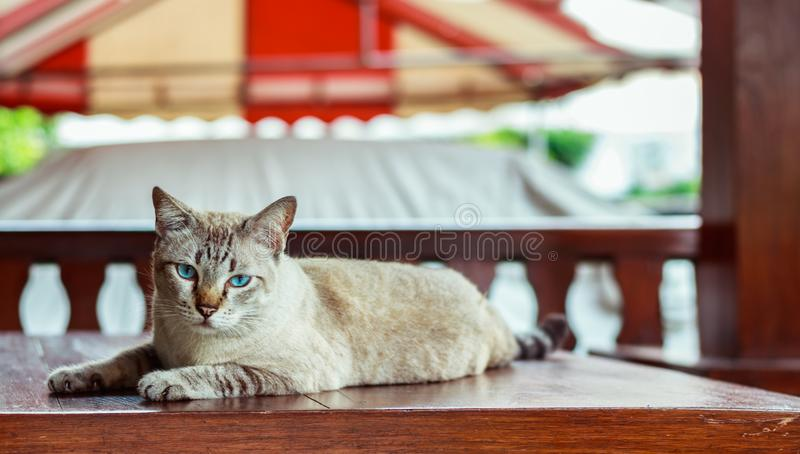 The cat is lying on the table and looking at me. Close-up stock image