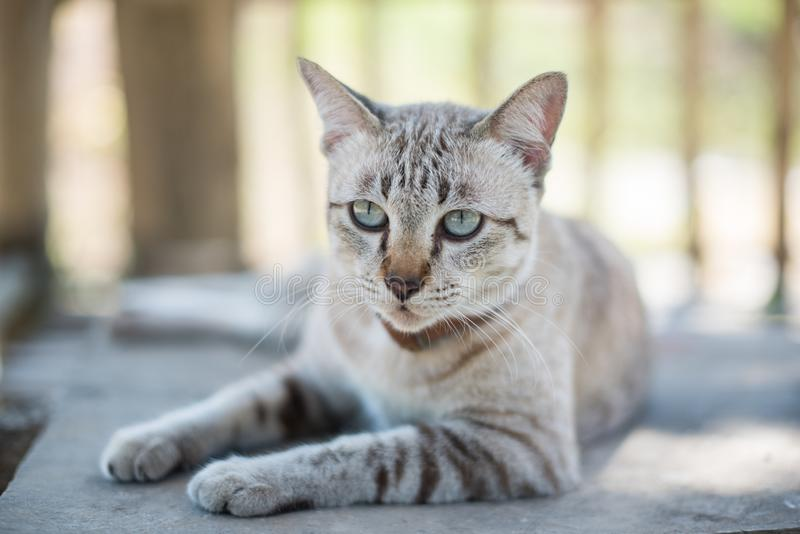 A cat lying on the wooden floor. Close up cat lying on the wooden floor stock image