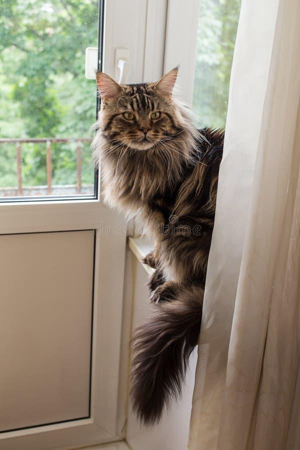 Cat Maine Coon arkivbild