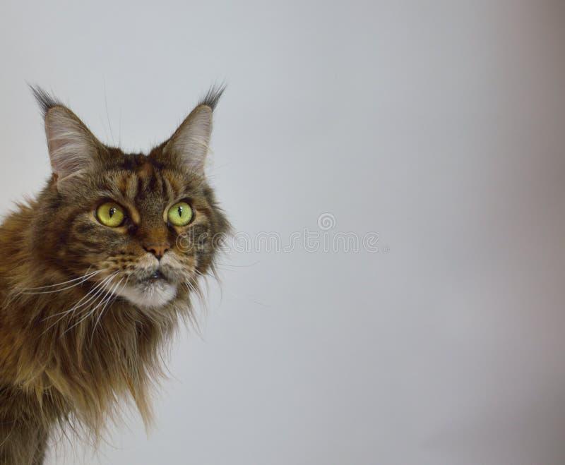 Cat Maine Coon met lange mooie leeswijzers op de oren stock foto's