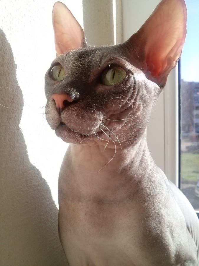 Cat Marley av aveln den kanadensiska Sphynxen royaltyfri fotografi