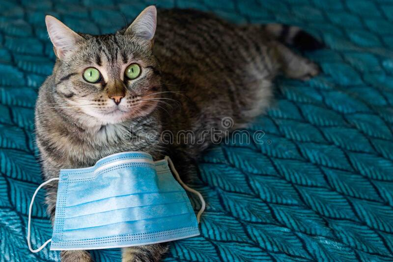 Cat in a medical mask. Protective antiviral mask on the cats face, Protective face mask for animals. COVID-19, Coronovirus. On a dark turquoise background a cat stock image
