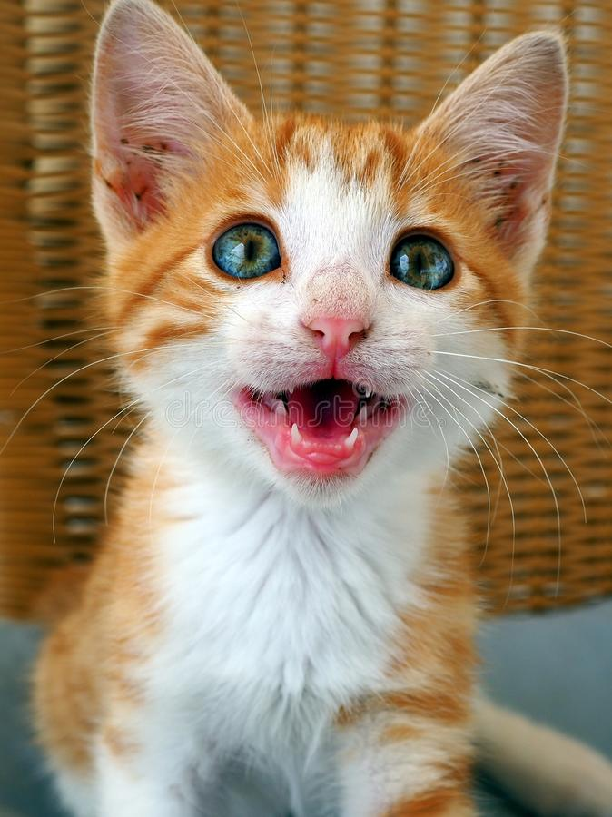 Cat Meow, Blue Eyed Ginger Rescue Kitten stock photography
