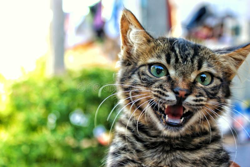 Cat meowing stock image