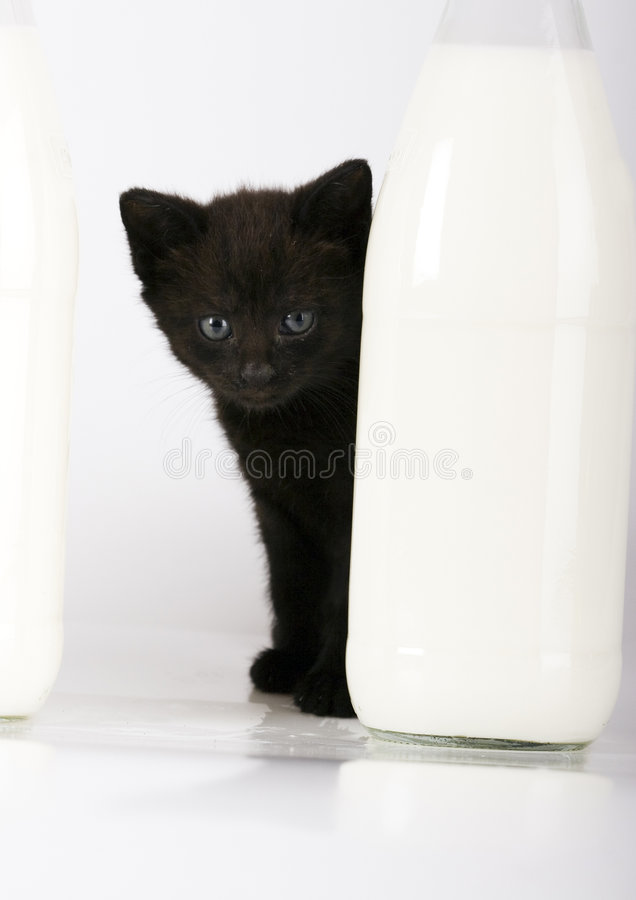 Download Cat & Milk stock image. Image of cats, domestic, shorthair - 2395537