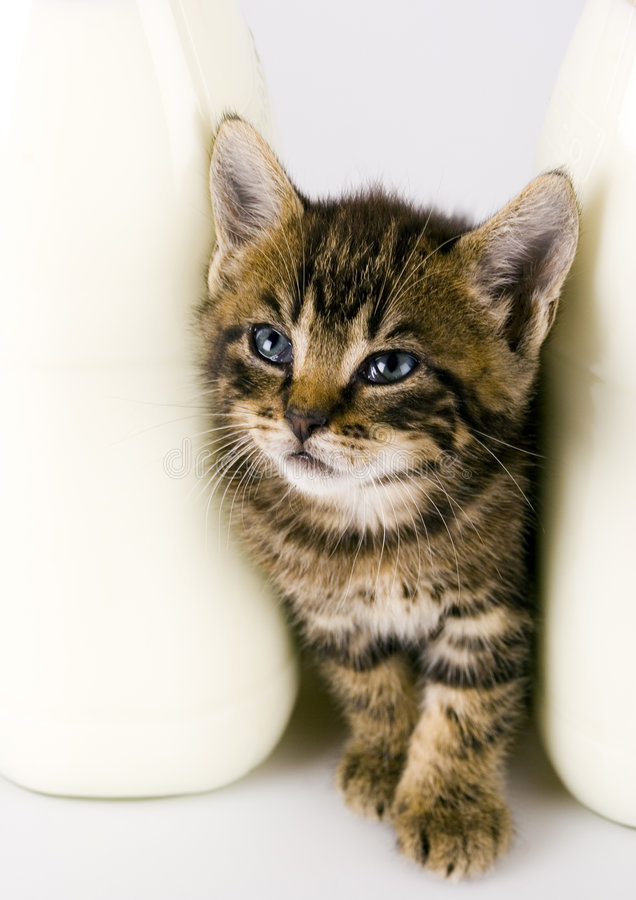 Cat & Milk. Cat - the small furry animal with four legs and a tail; people often keep cats as pets stock image