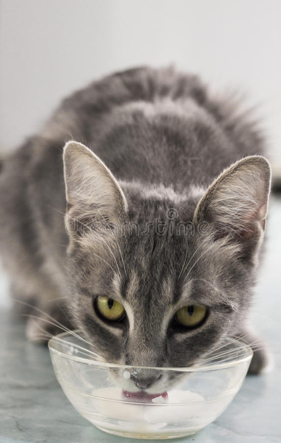 Download Cat with milk stock image. Image of portrait, grey, cute - 51121605