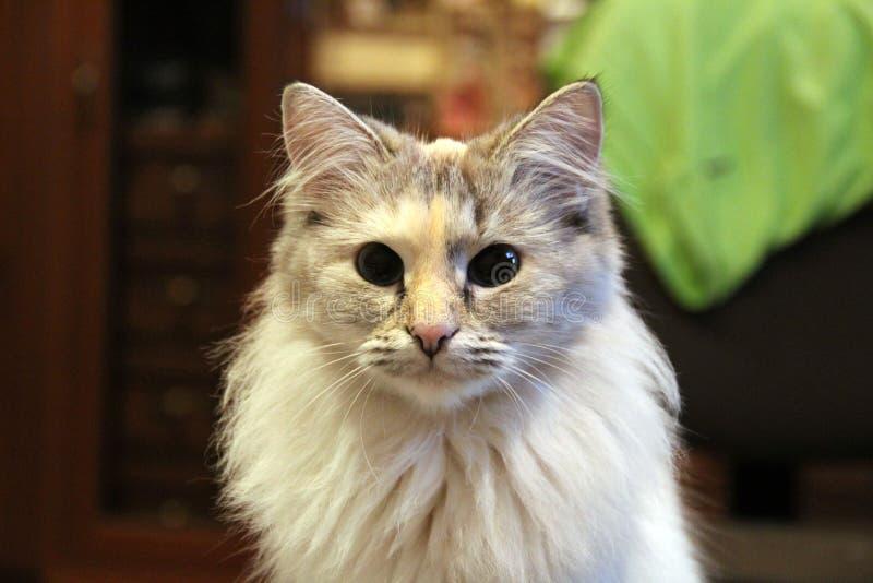 Cat mini lion royalty free stock photography