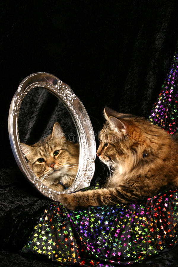 Cat In A Mirror Stock Photography Image 24161352