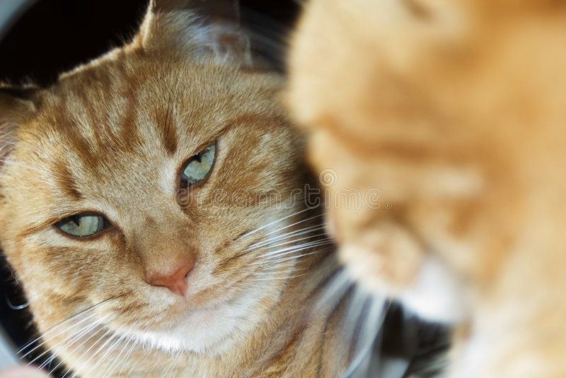 Cat in mirror. Cat looking in a mirror with a disgusted expression, he's pitying the ordinary feline. It's so hard to be humble when you're this handsome royalty free stock image