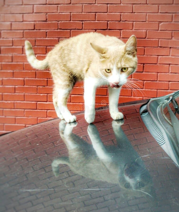 Cat Mirror fotografia stock libera da diritti