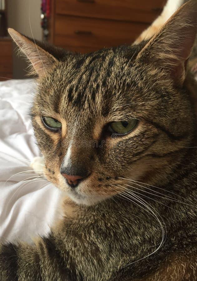 Cat Model Resting mayor diabética masculina mullida imponente imágenes de archivo libres de regalías
