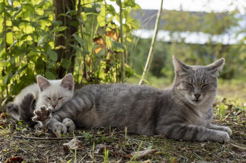 Cat mom naps next to a kitten in the shade of a tree, in the countryside, on a summer day. Cat mom naps next to a kitten in the shade of a tree, in the stock images