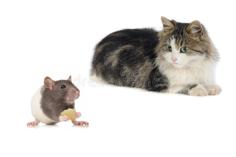Download Cat and mouse stock photo. Image of white, puss, pest - 28825048