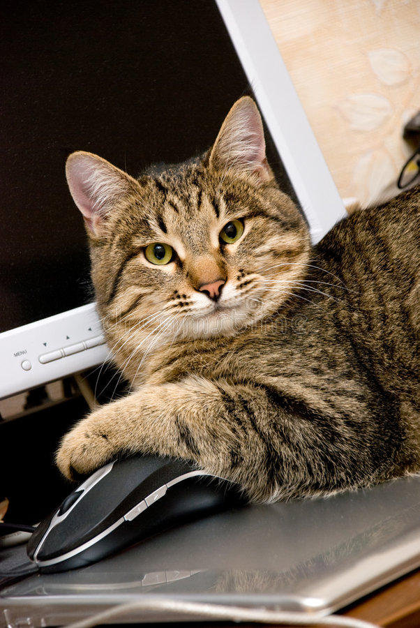 A cat with a mouse royalty free stock photos
