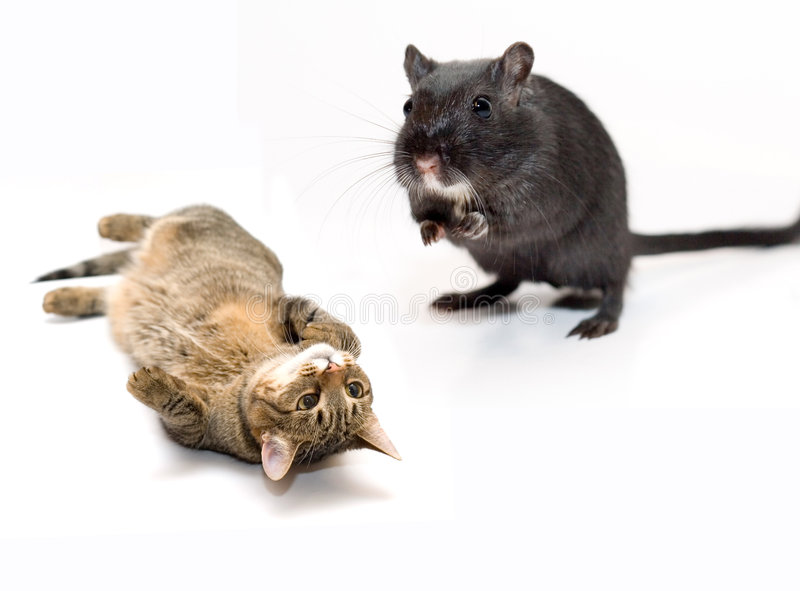 Cat and mouse royalty free stock photos