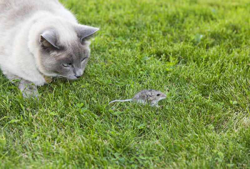 Download Cat and Mouse stock photo. Image of collar, nature, point - 33712254