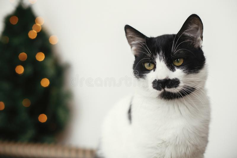 Cat with mustache looking with funny emotions on background of little christmas tree with lights and festive wrapping paper. Cute stock photos