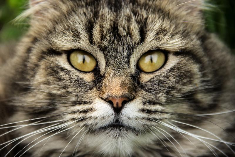 Cat muzzle close up. Fluffy cat with beautiful eyes. Cat portrait royalty free stock images