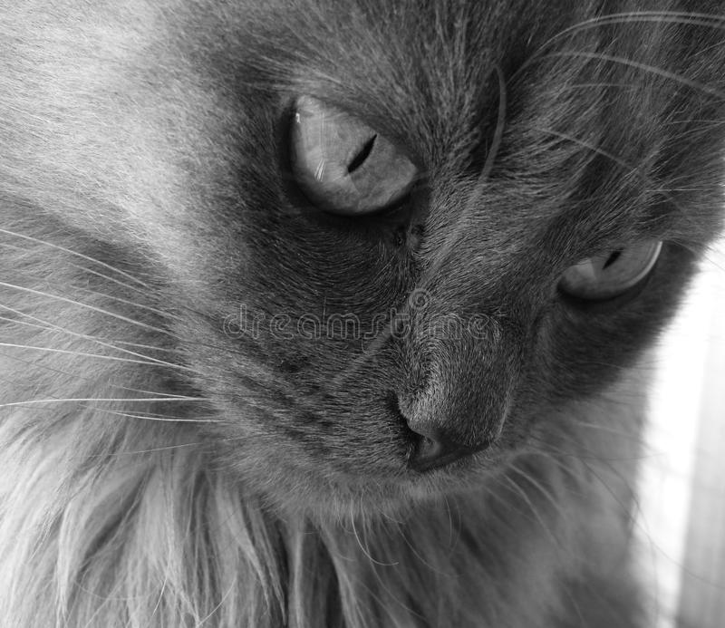 Cat. My gray cat watching at something stock photos