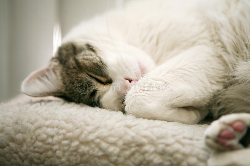 Download Cat nap stock photo. Image of pets, meow, soft, white - 12926366