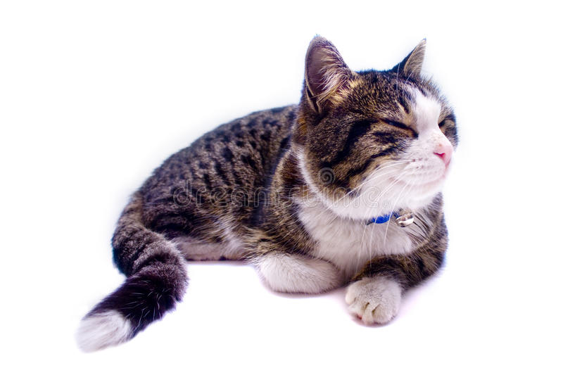 Download Cat Nap stock photo. Image of animal, white, collar, napping - 13875360
