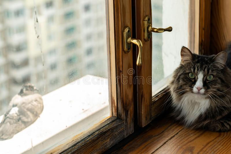 Cat near the window watching the pigeon. royalty free stock images