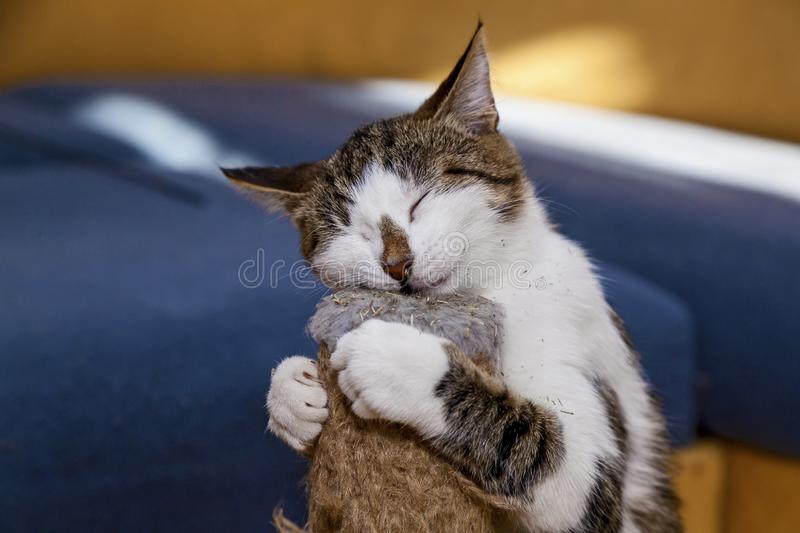 Cat and Nepeta cataria. Cat licks catnip Nepeta Catar, sweets for pets cats royalty free stock images