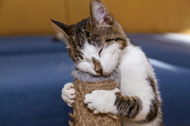 Cat and Nepeta cataria. Cat licks catnip Nepeta Catar, sweets for pets cats stock image
