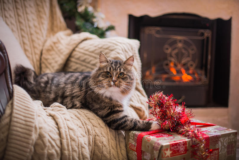 Cat, new year holidays, christmas, christmas tree royalty free stock photo