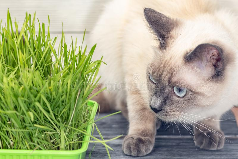 Cat next to germinated green sprouts of oats. stock photography