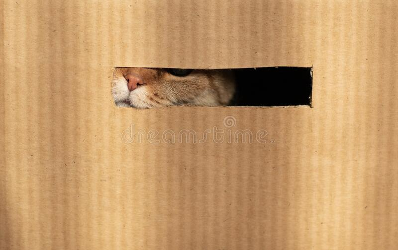 Cat nose through cardboard hole royalty free stock photo