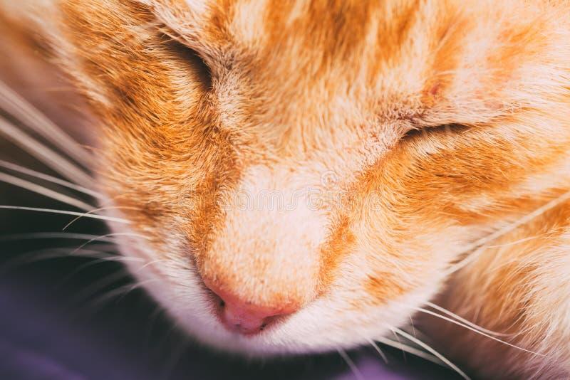 Cat Nose Close Up rossa fotografie stock
