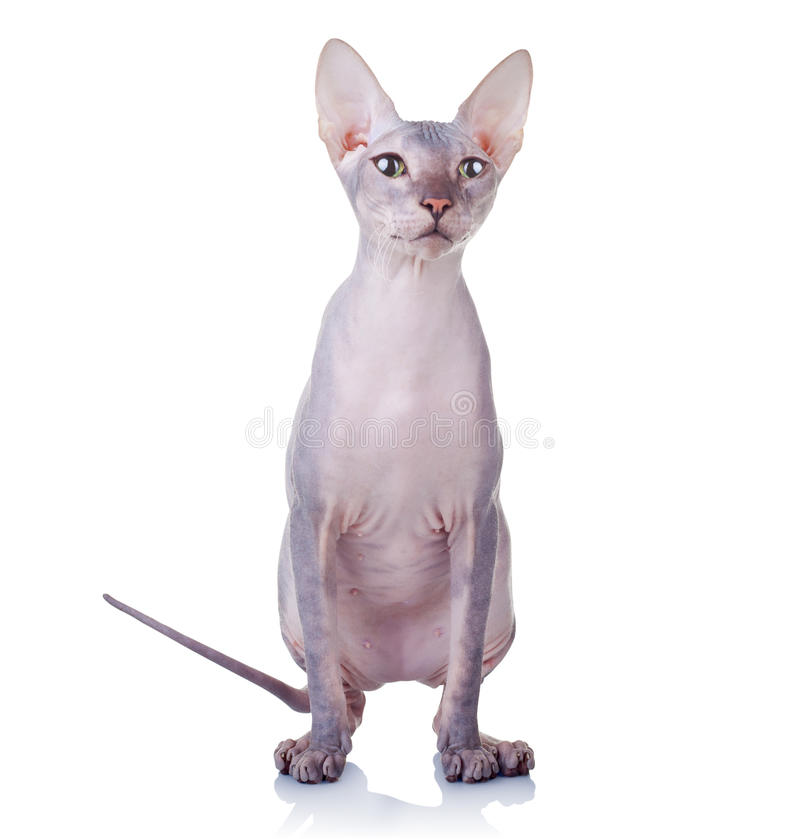 Free Cat Of Don Sphynx Breed Royalty Free Stock Photo - 24509645