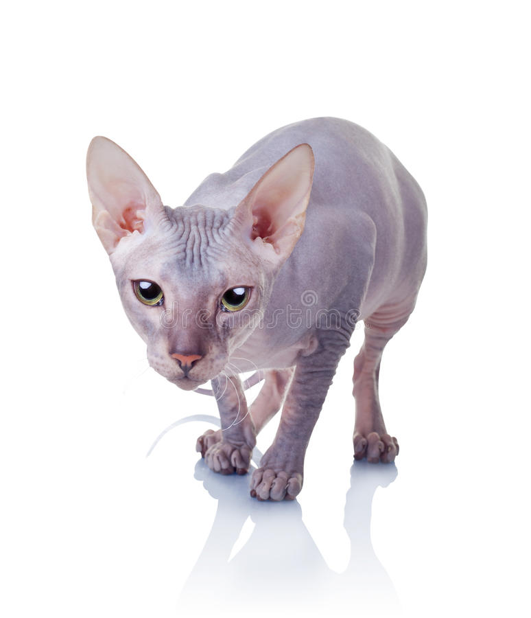 Free Cat Of Don Sphynx Breed Royalty Free Stock Photos - 24509658