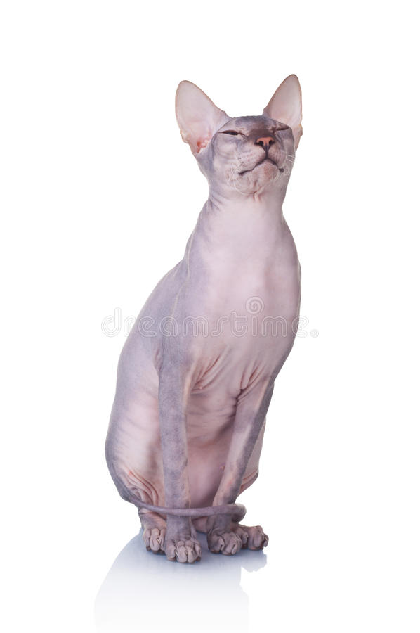 Free Cat Of Don Sphynx Breed Royalty Free Stock Images - 24509659