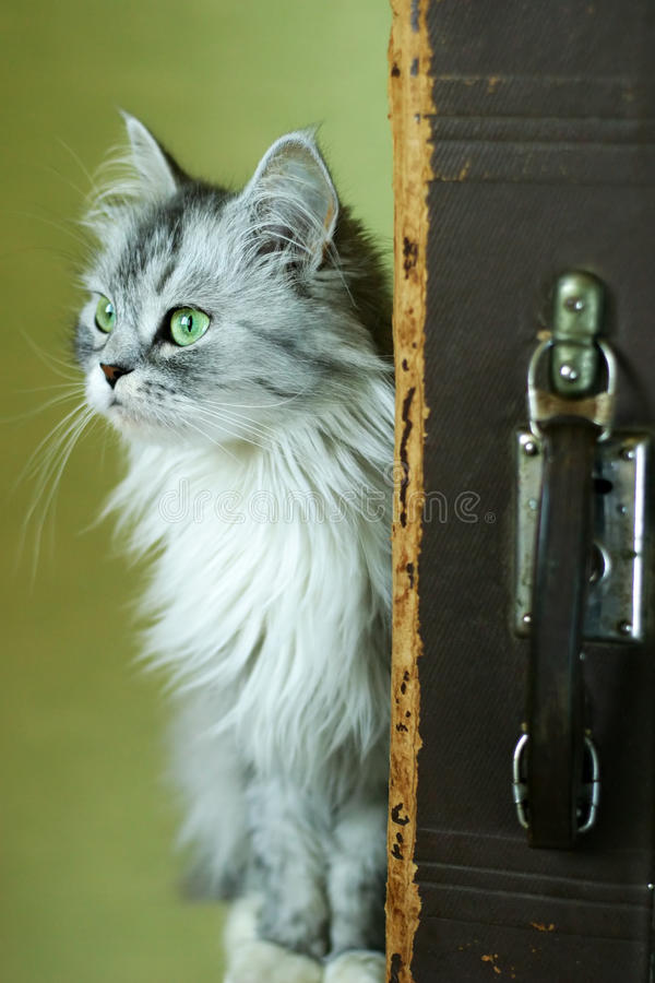 Cat and old suitcase stock photography
