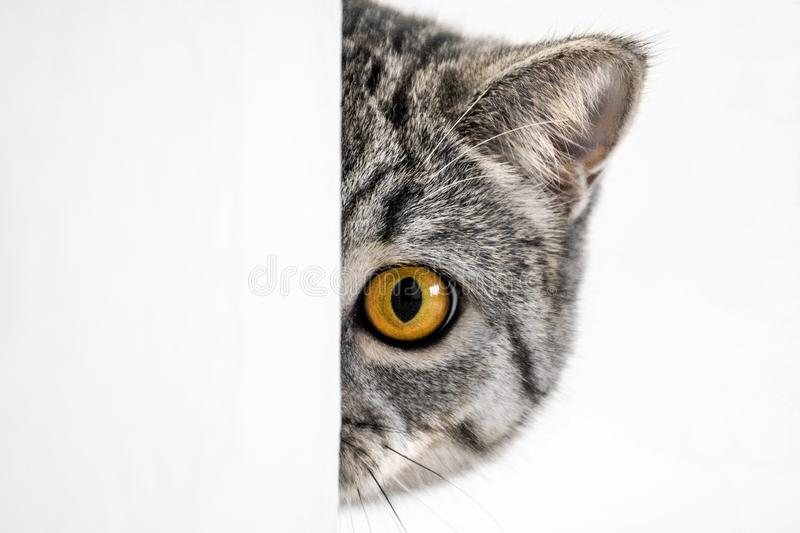 British cat with orange eyes. Peeking out of the wall, playing hide and seek stock photography