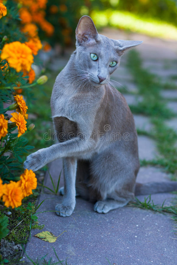 Cat Of Oriental Breed, 2 Years Old, Sitting And Raising Up Paw. Young Gray Cat Of Oriental Breed, 2 Years Old, Sitting And Raising Up Paw Outdoors royalty free stock photography