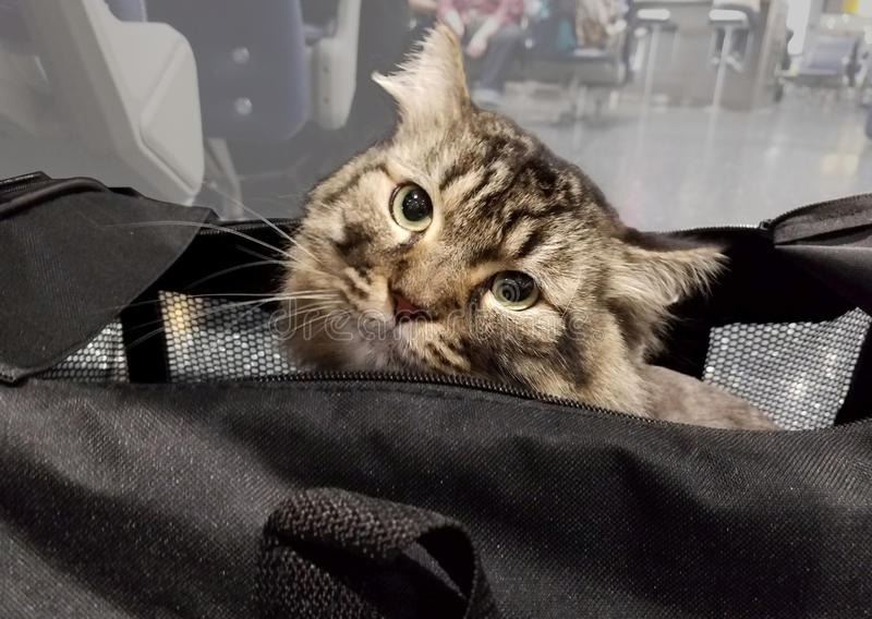 Cat is out. Of the bag, peeking his head out of black travel bag on airport in Newark royalty free stock photo