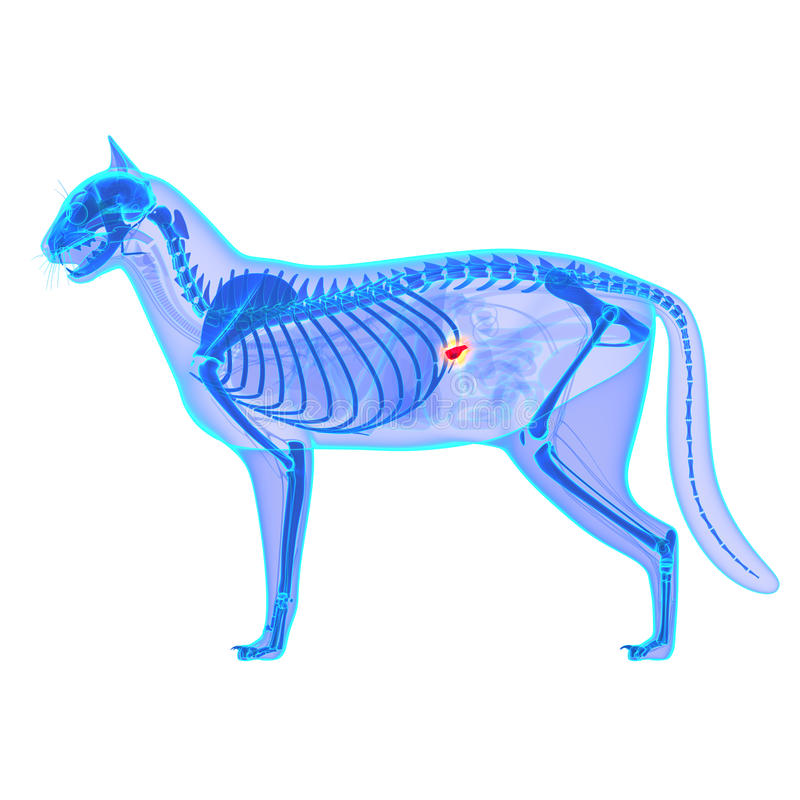 Cat Pancreas Anatomy - anatomie de Catus de Felis - d'isolement sur le blanc images stock