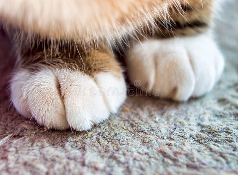 Cat Paw foto de stock royalty free