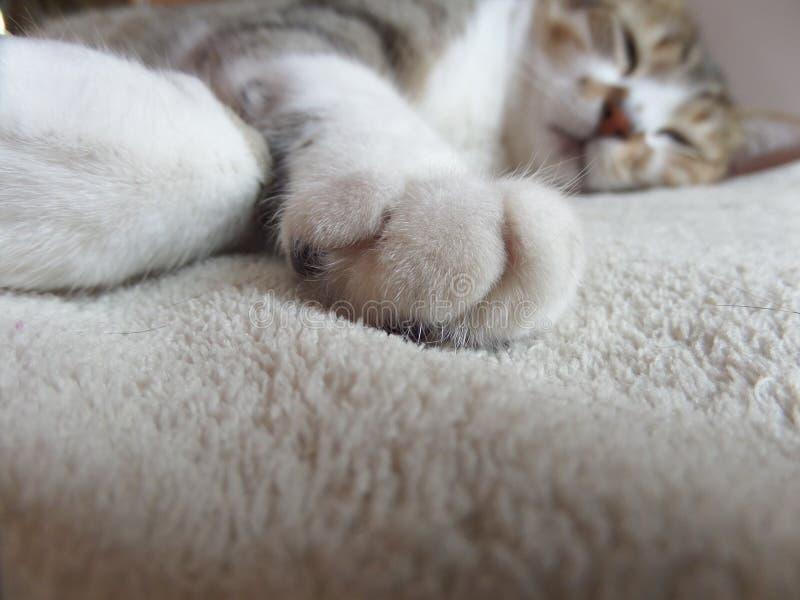 Cat Paw Close White and Grey Pet photographie stock libre de droits