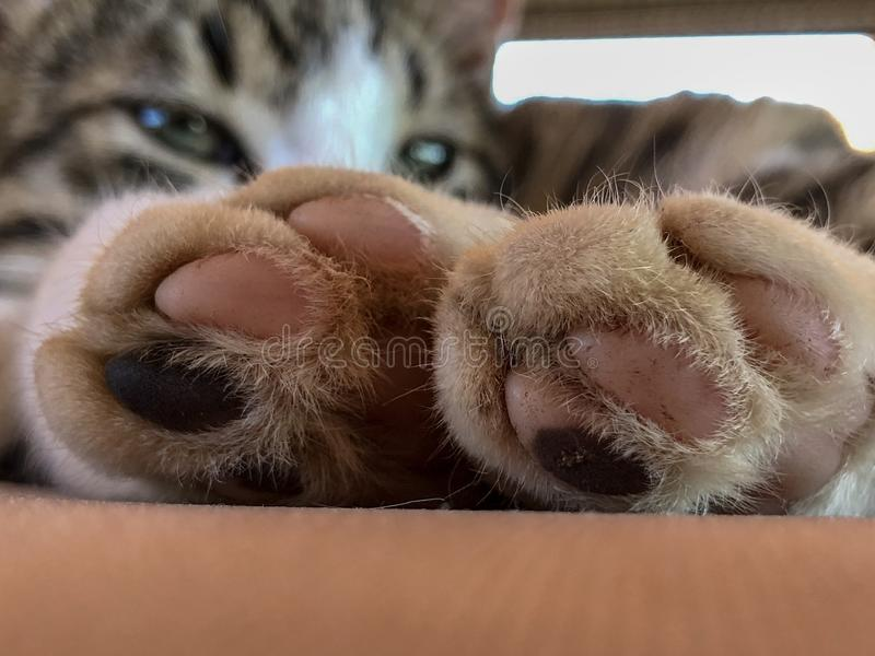 Cat paws. Sleeping cat feet royalty free stock photography