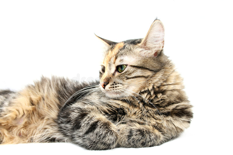 Cat at Peace royalty free stock image