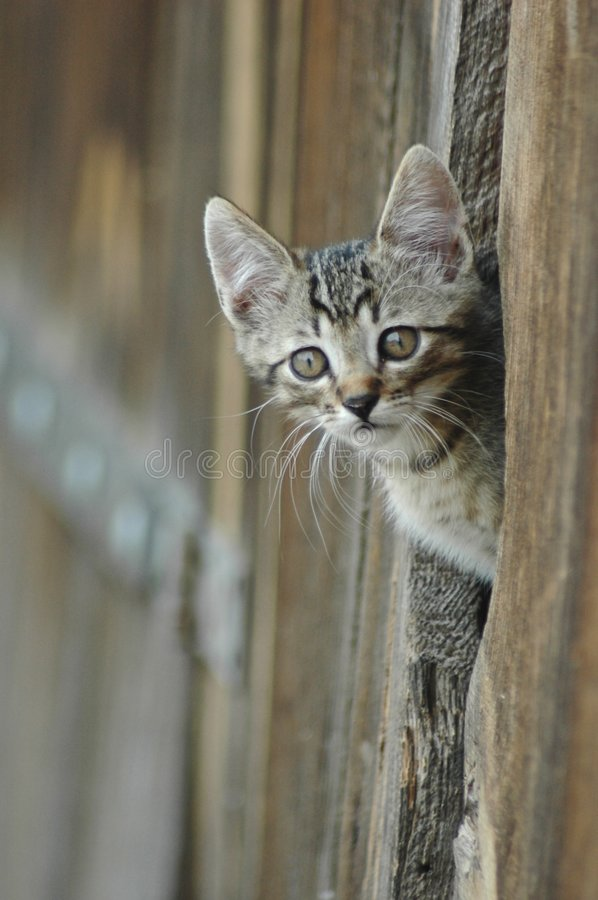 Cat peeking barn door royalty free stock images