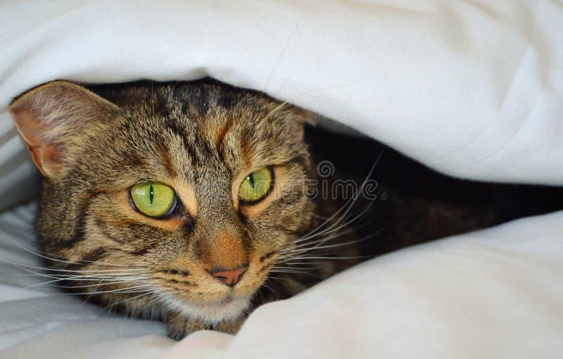Cat Peeking dalle coperture fotografia stock libera da diritti