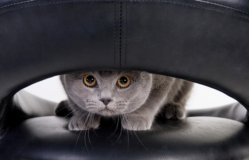 Cat peeping through the hole royalty free stock photo